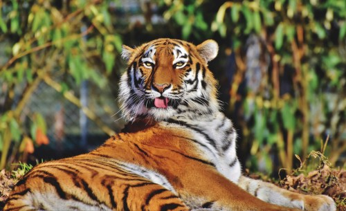 100 majestic tiger pictures