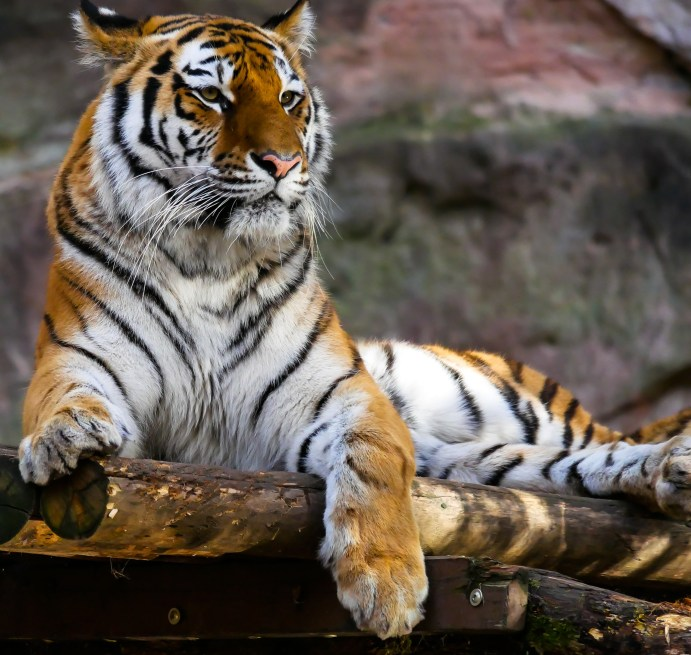 Tiger Sitting on Brown Logs Closeup Photography