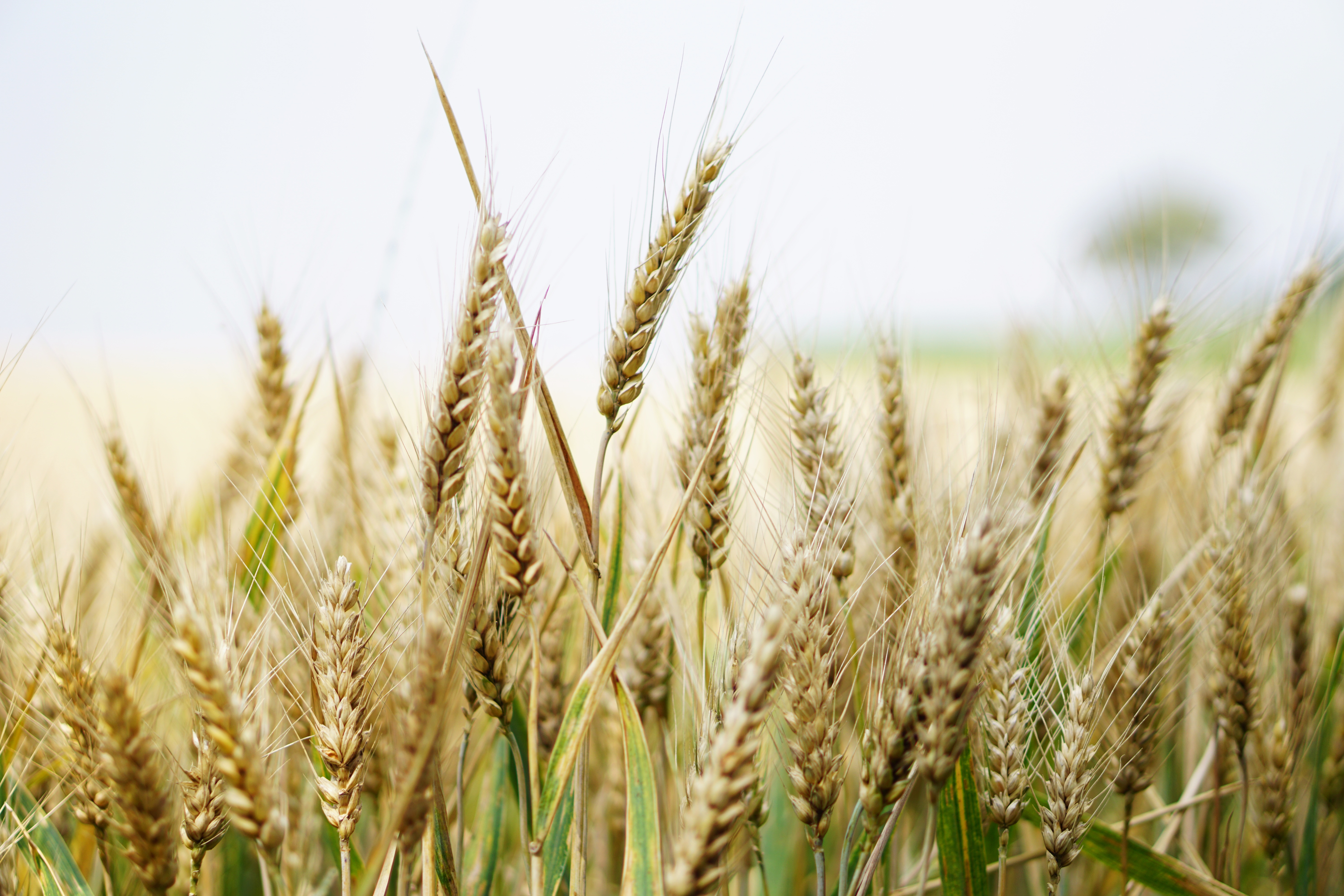 Free Fall Wallpaper Apps 1000 Engaging Wheat Field Photos 183 Pexels 183 Free Stock Photos