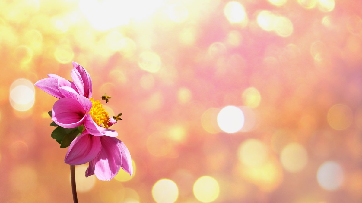 Free stock photo of petals, plant, flower, bokeh