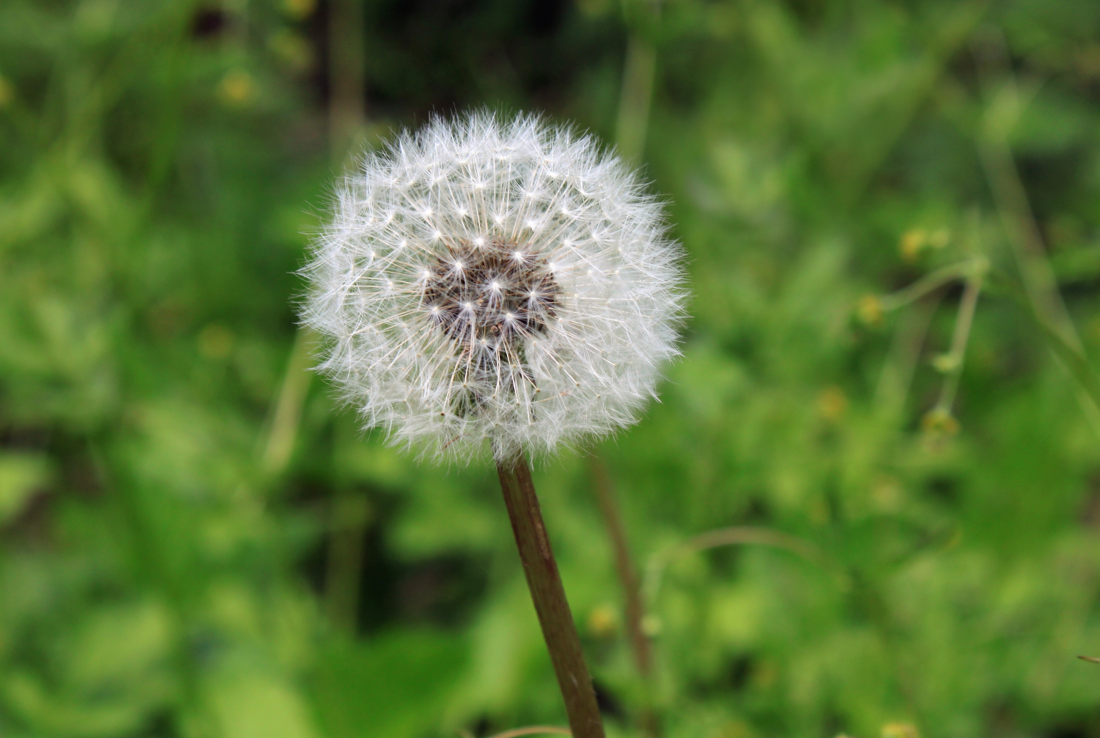 Close Up Photography Of White Dandelion Seed 183 Free Stock