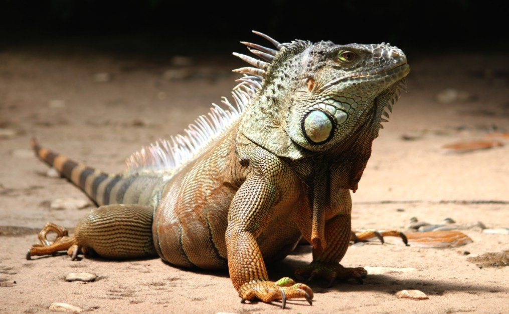 High Definition Animal Wallpapers Close Up Of A Iguana 183 Free Stock Photo