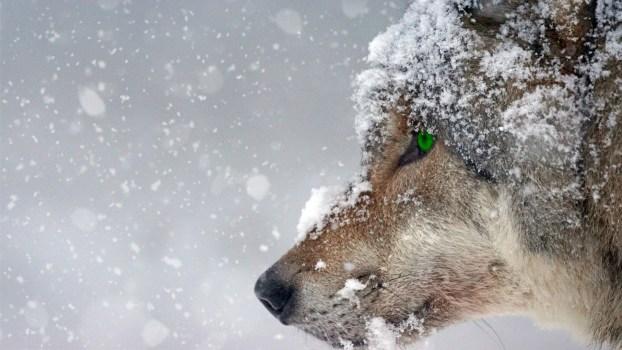 Direwolf, wolf, snow