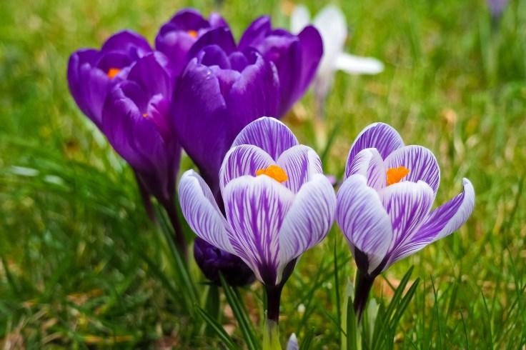 Free stock photo of nature, field, flowers, purple