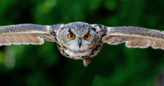 Tanning Photography of Flying Eagle-owl