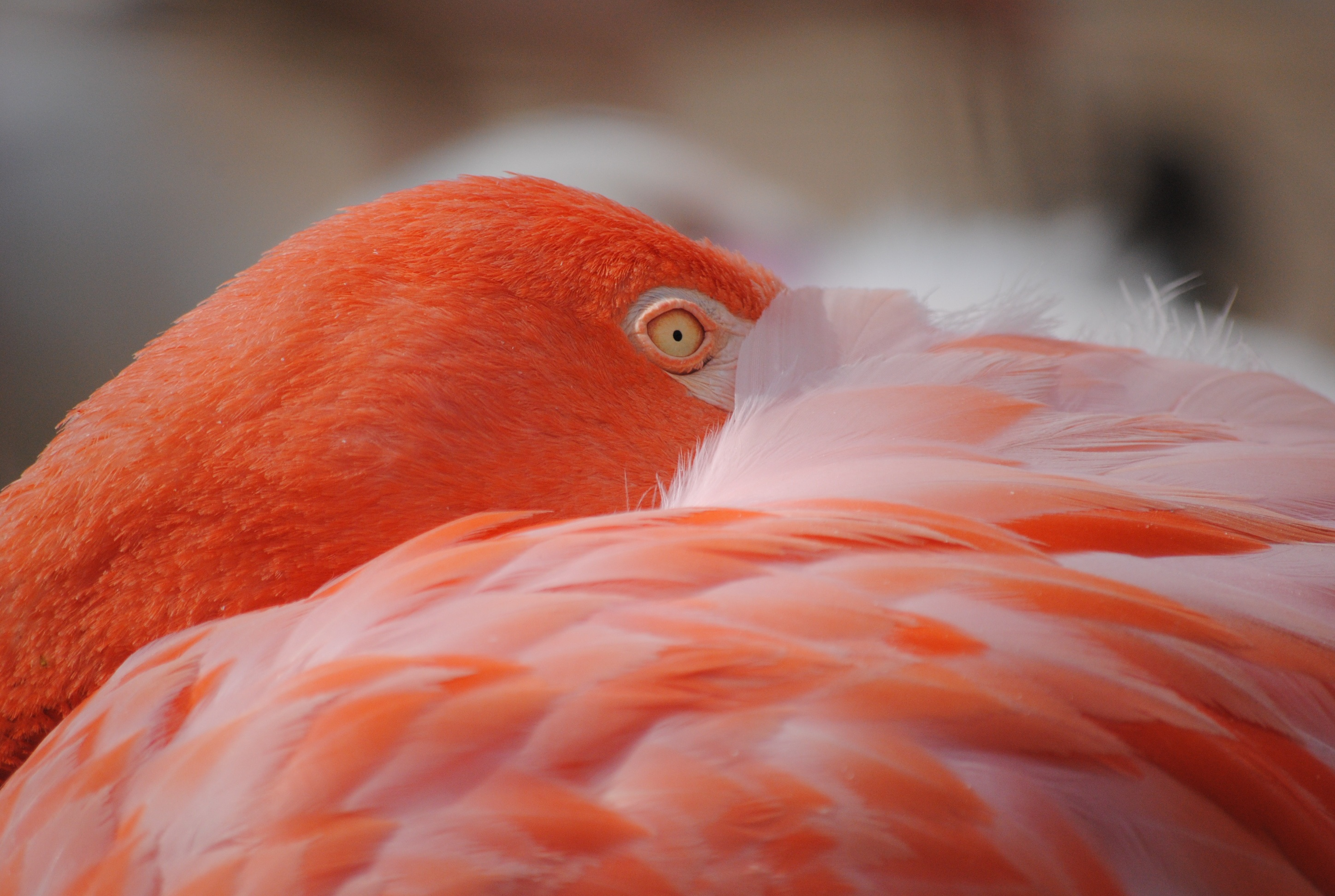 red Red Flamingo · Free Stock Photo