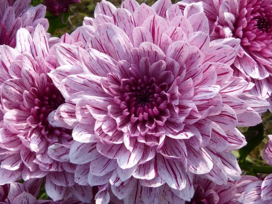 Fall Sunflower Desktop Wallpaper Purple Cluster Petal Flower 183 Free Stock Photo