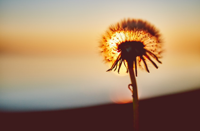 dandelion, flower, sunset