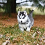 White And Black Siberian Husky Puppy On Brown Grass Field Free Stock Photo