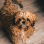 Brown Shih Tzu Puppy Free Stock Photo