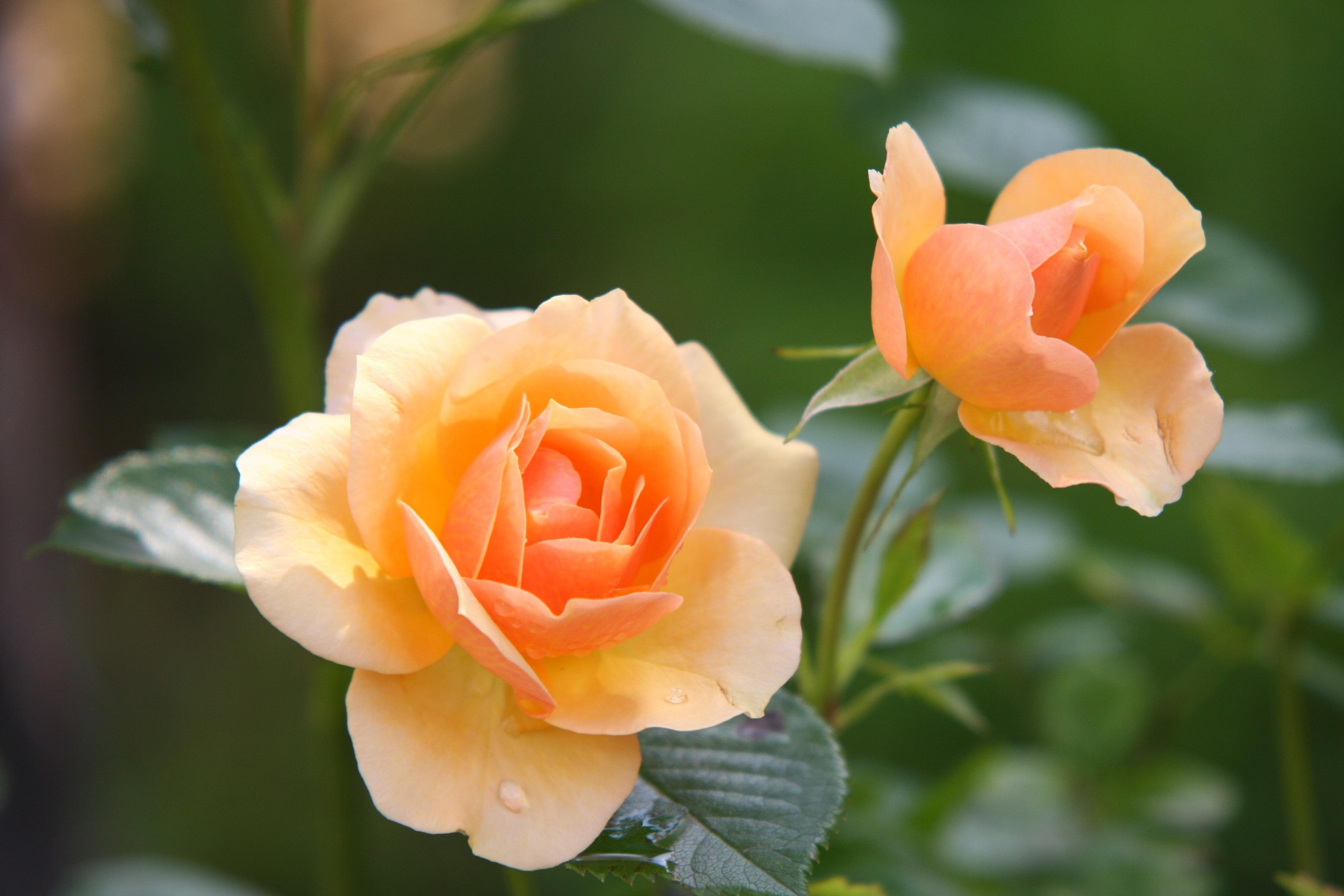 заводы, красивые цветы, лепестки