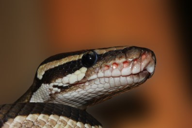 Free stock photo of reptile, exotic, snake, constrictor