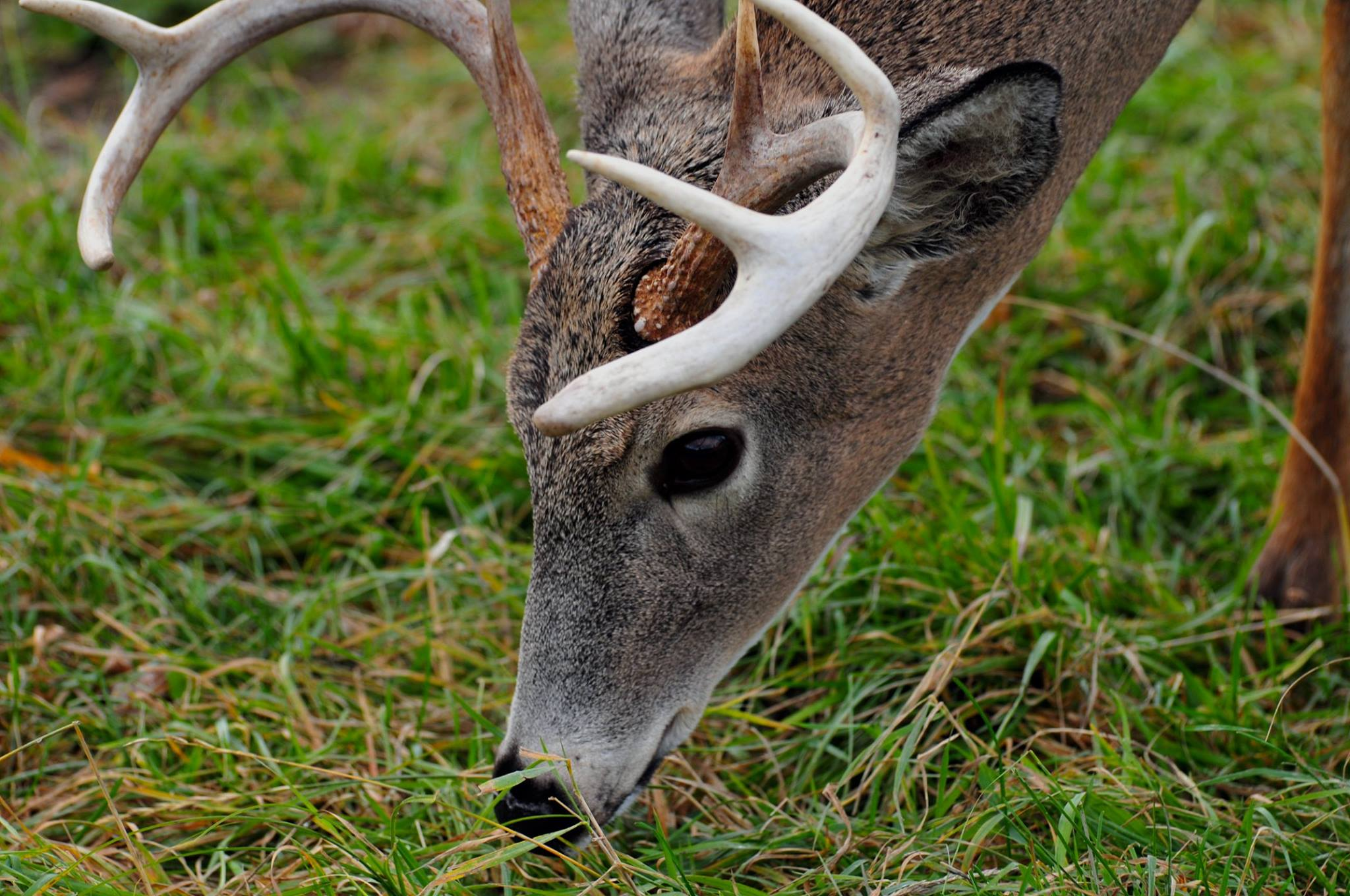 Beautiful Animal Pictures Wallpaper Spotted Deer Eating Grass On Green Grass At Daytime 183 Free