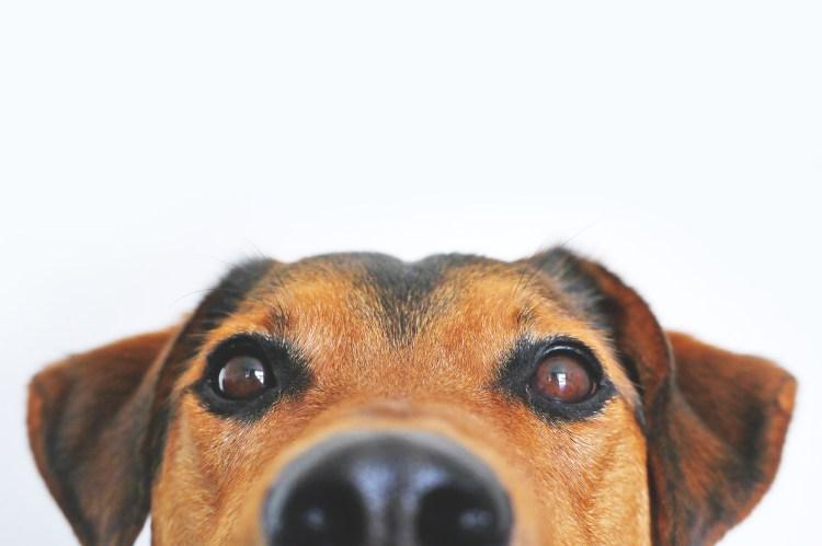 hundgodis inkallning