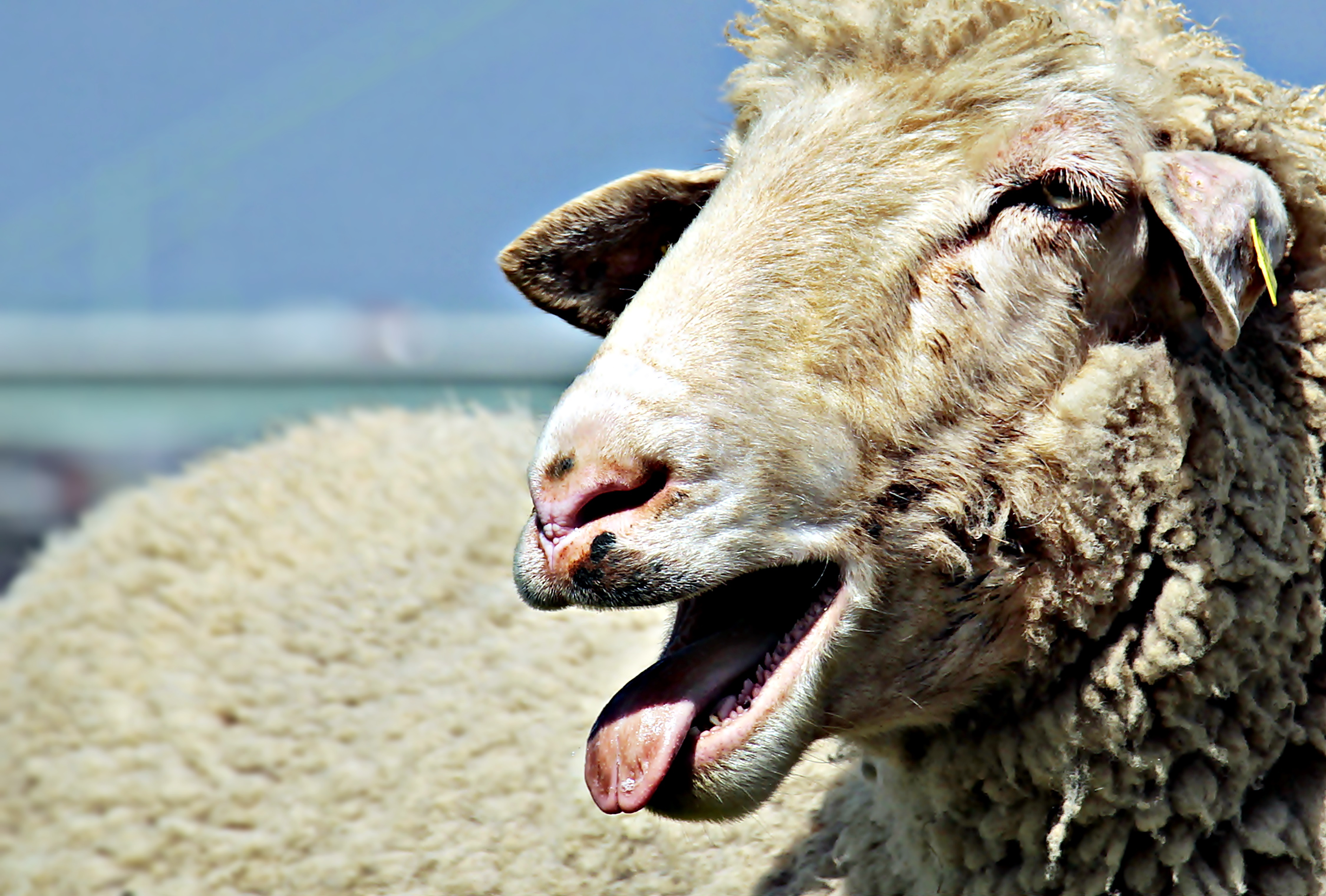 Wallpaper Of Cute Animals For Mobile Focus Photo Of Brown Sheep Under Blue Sky 183 Free Stock Photo