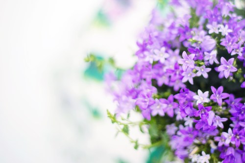 purple flowers pexels free