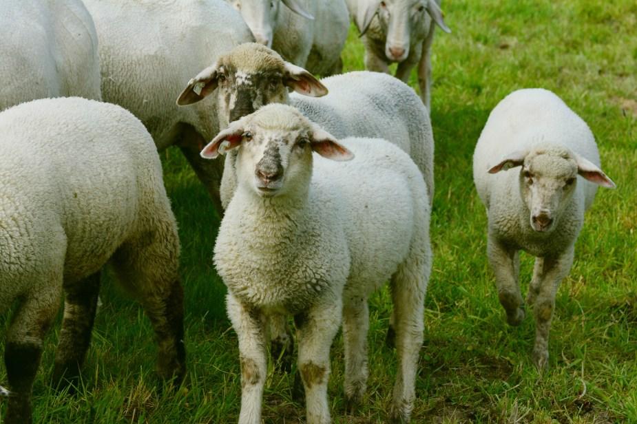 sheep nursing problems