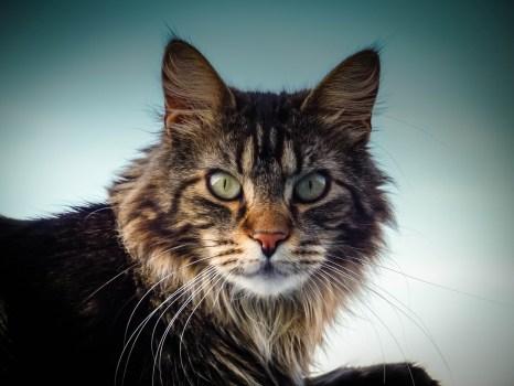 Iphone X Wallpaper Hd 4k Adult Brown Tabby Cat 183 Free Stock Photo