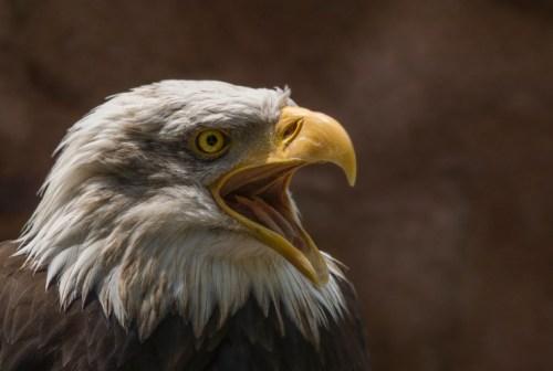 Close Up Photography Of Bald Eagle 183 Free Stock Photo