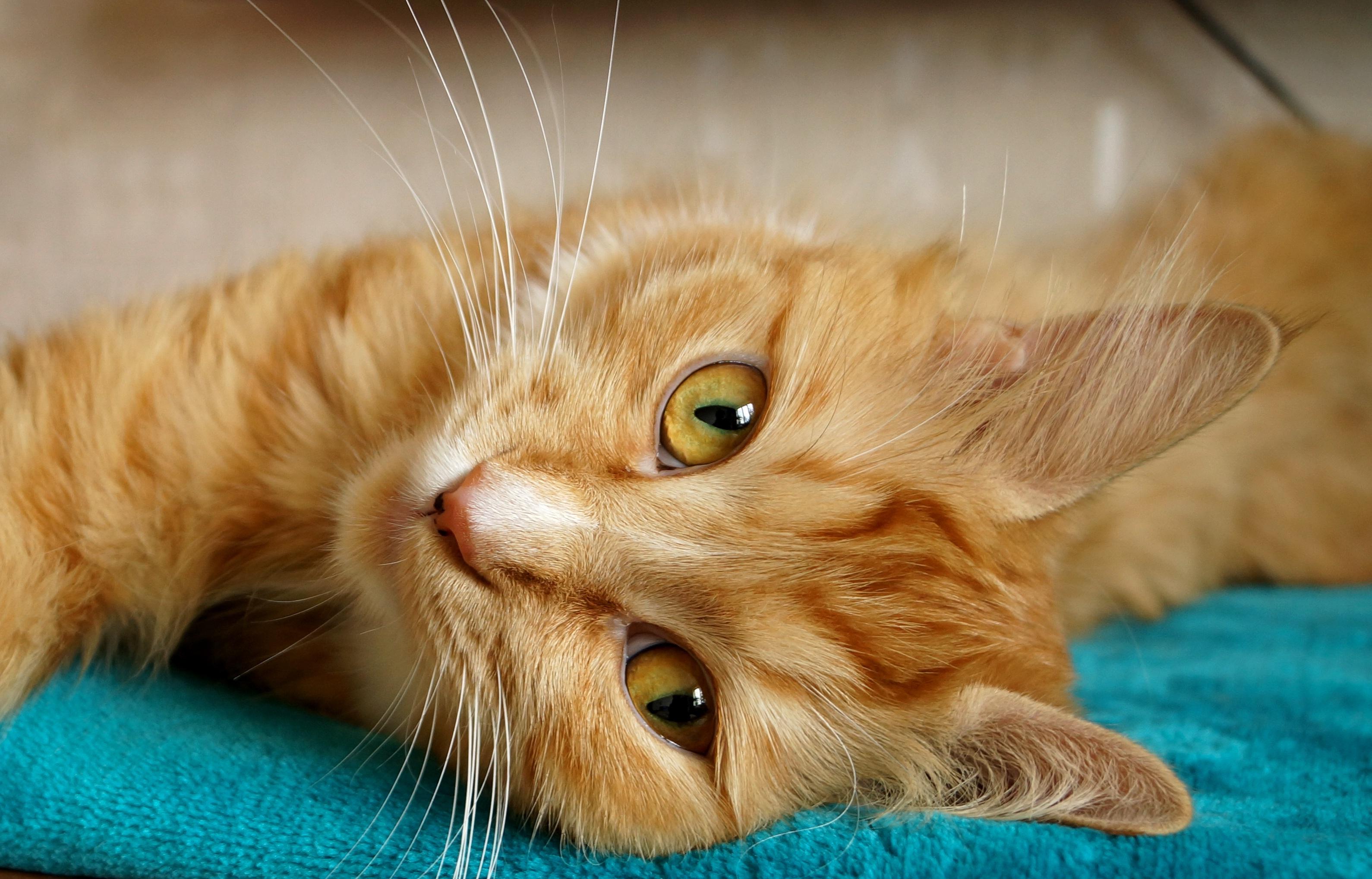Wallpaper Black Orange Orange Tabby Cat Laying On Brown Sofa 183 Free Stock Photo