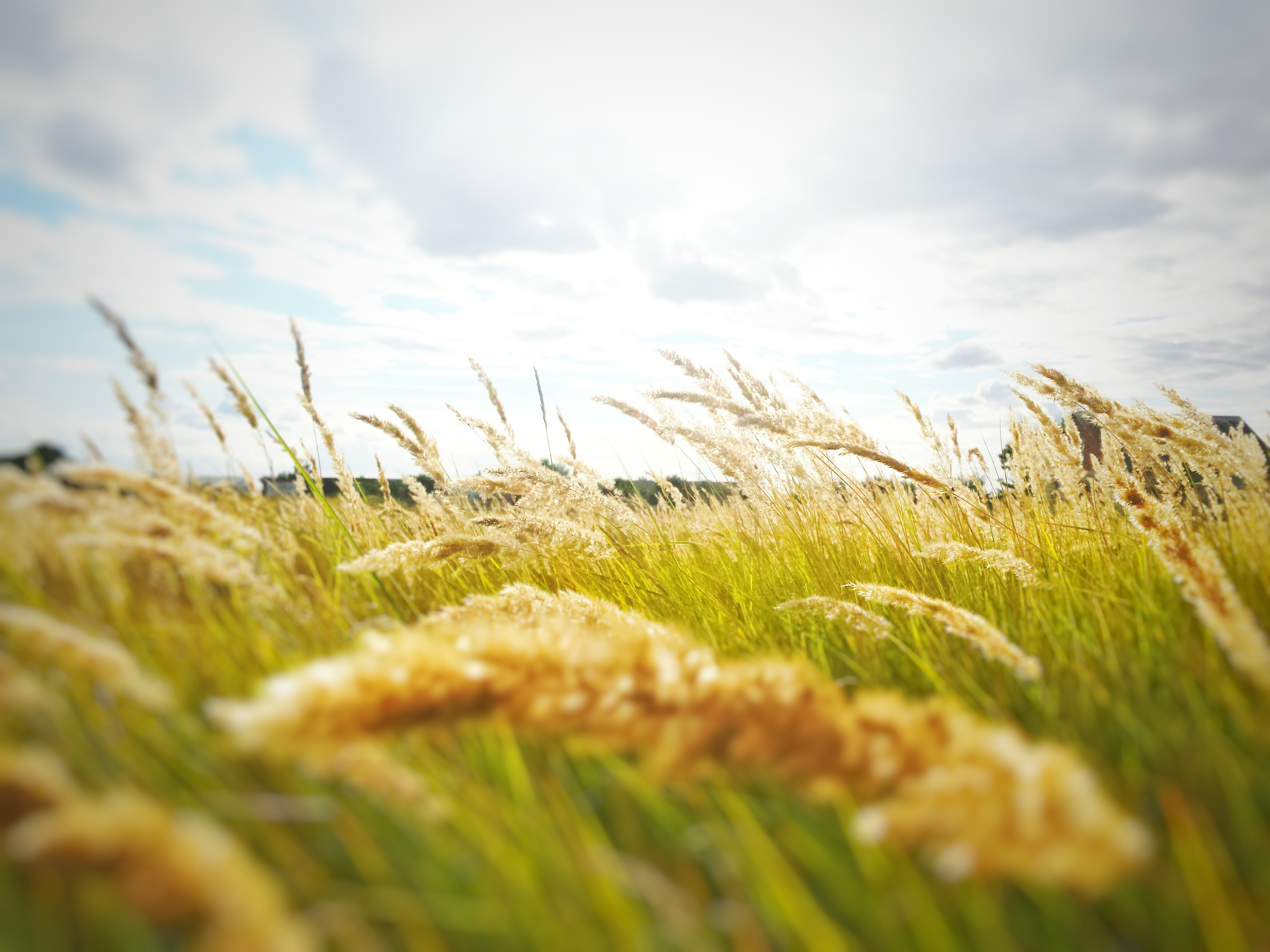 Cool Nature Wallpapers Hd Rice Grain Grass Field 183 Free Stock Photo