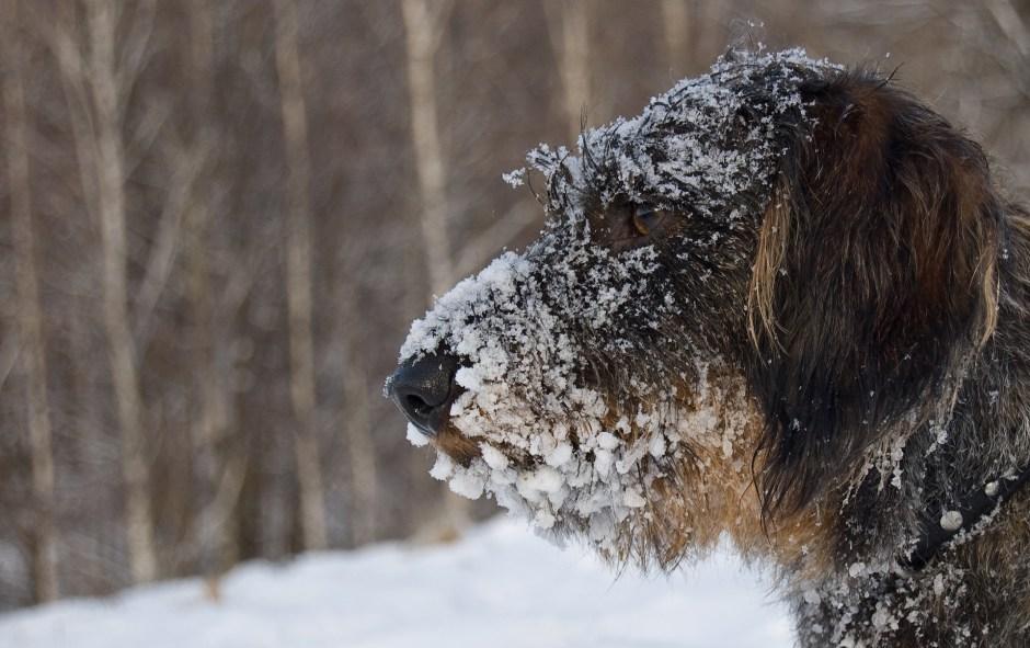 Cute Dog Christmas Pics Wallpaper Free Stock Photo Of Animal Cold Cute