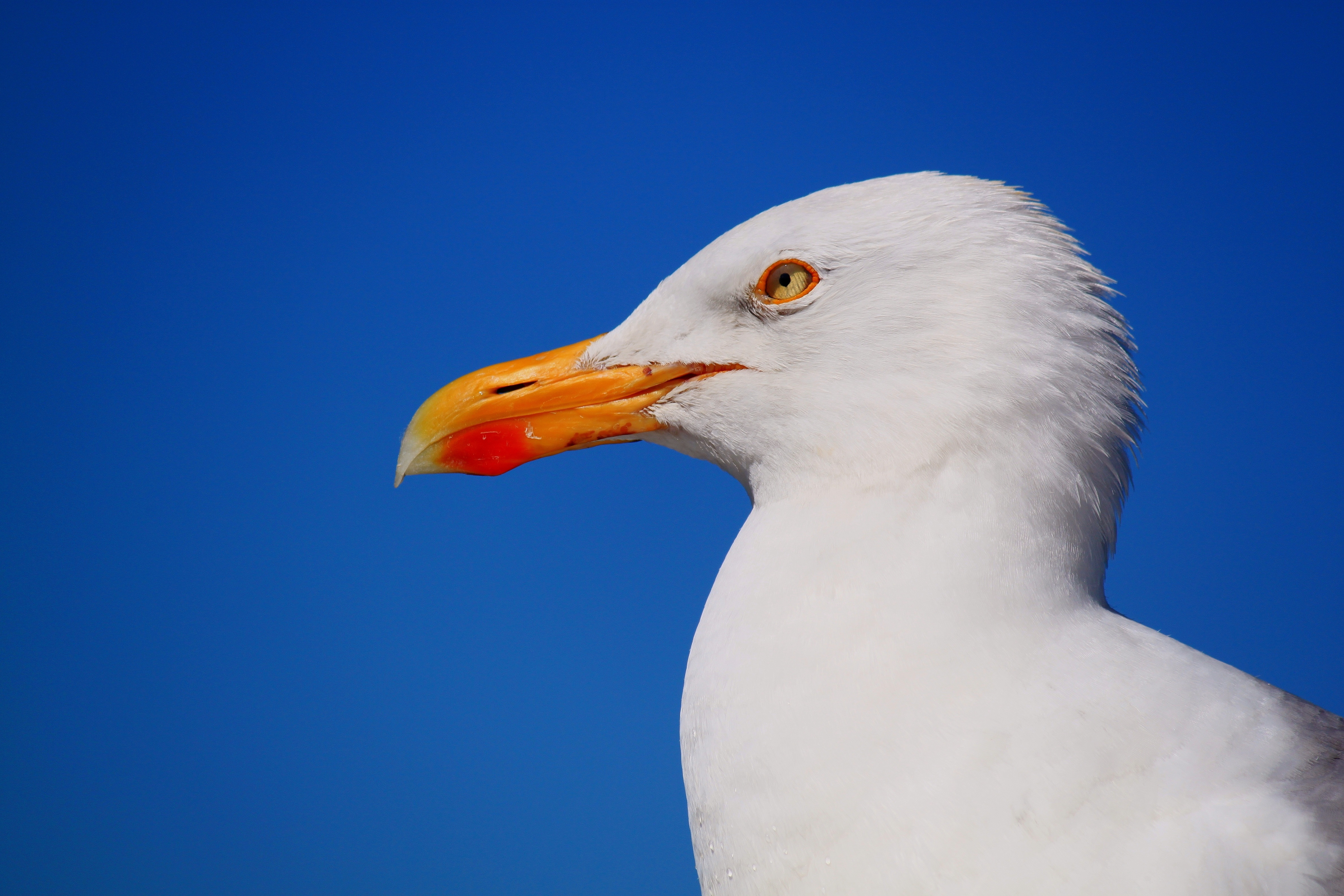 Iphone X Wallpaper Black And Blue Free Stock Photo Of Animal Bird Seagull