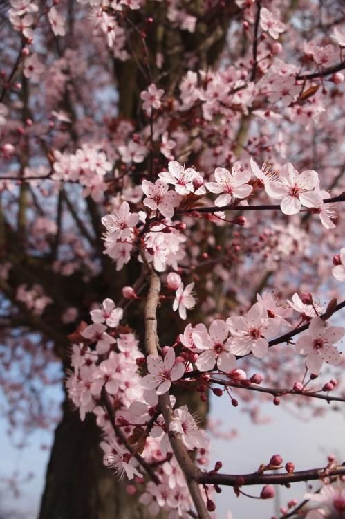 1000 interesting cherry blossom