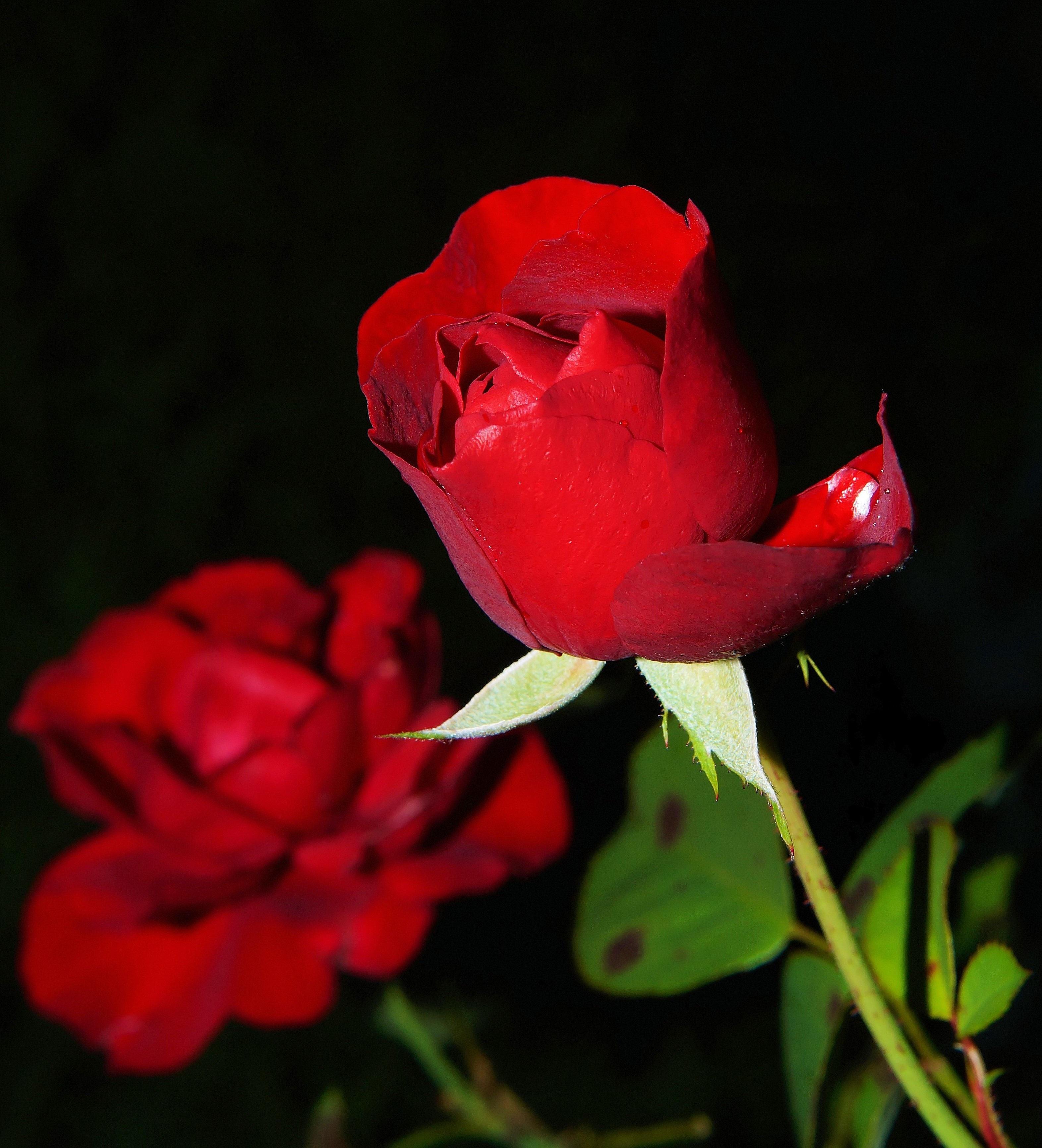 red rose free stock