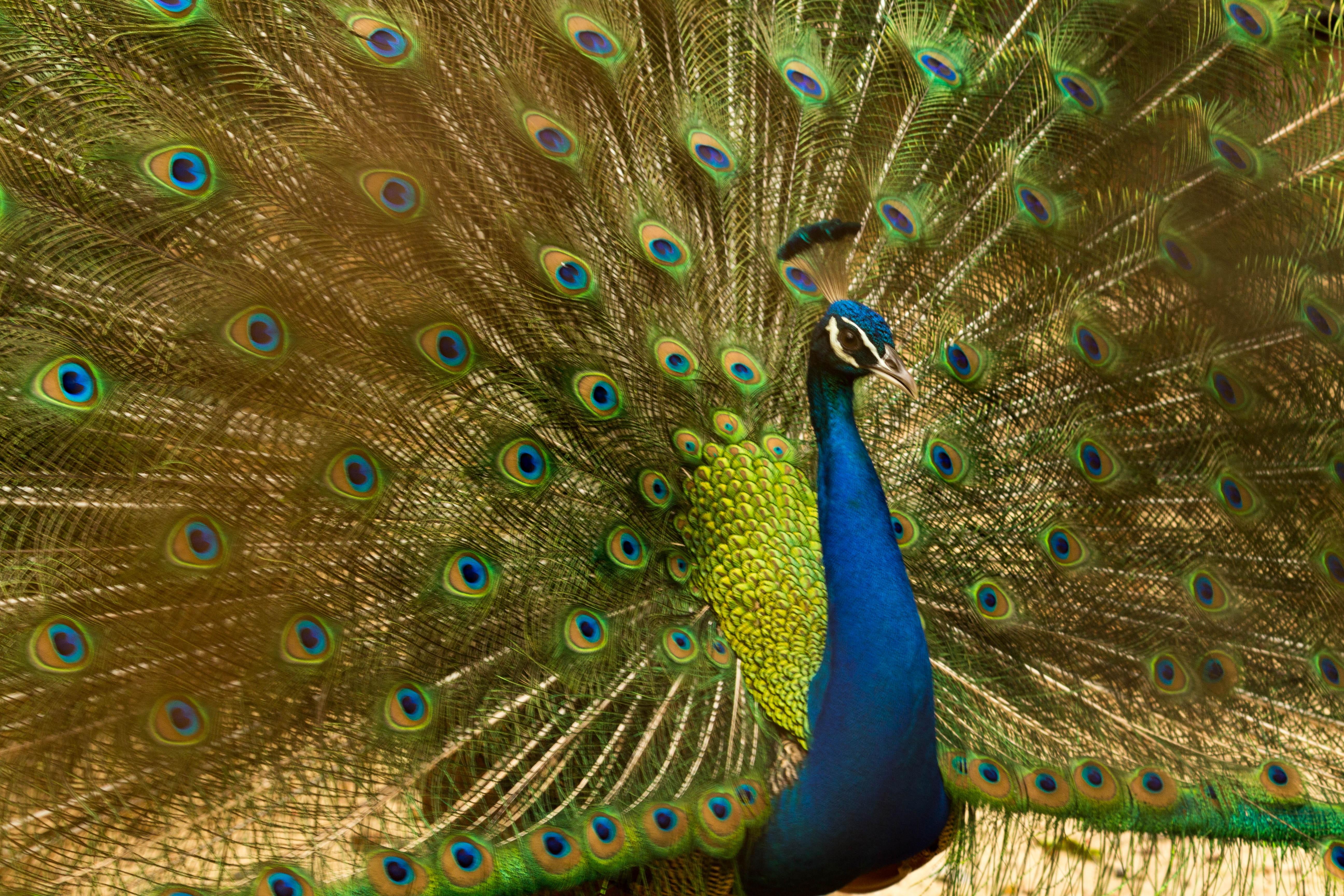 Iphone X Wallpaper Hd 4k Blue Peacock 183 Free Stock Photo