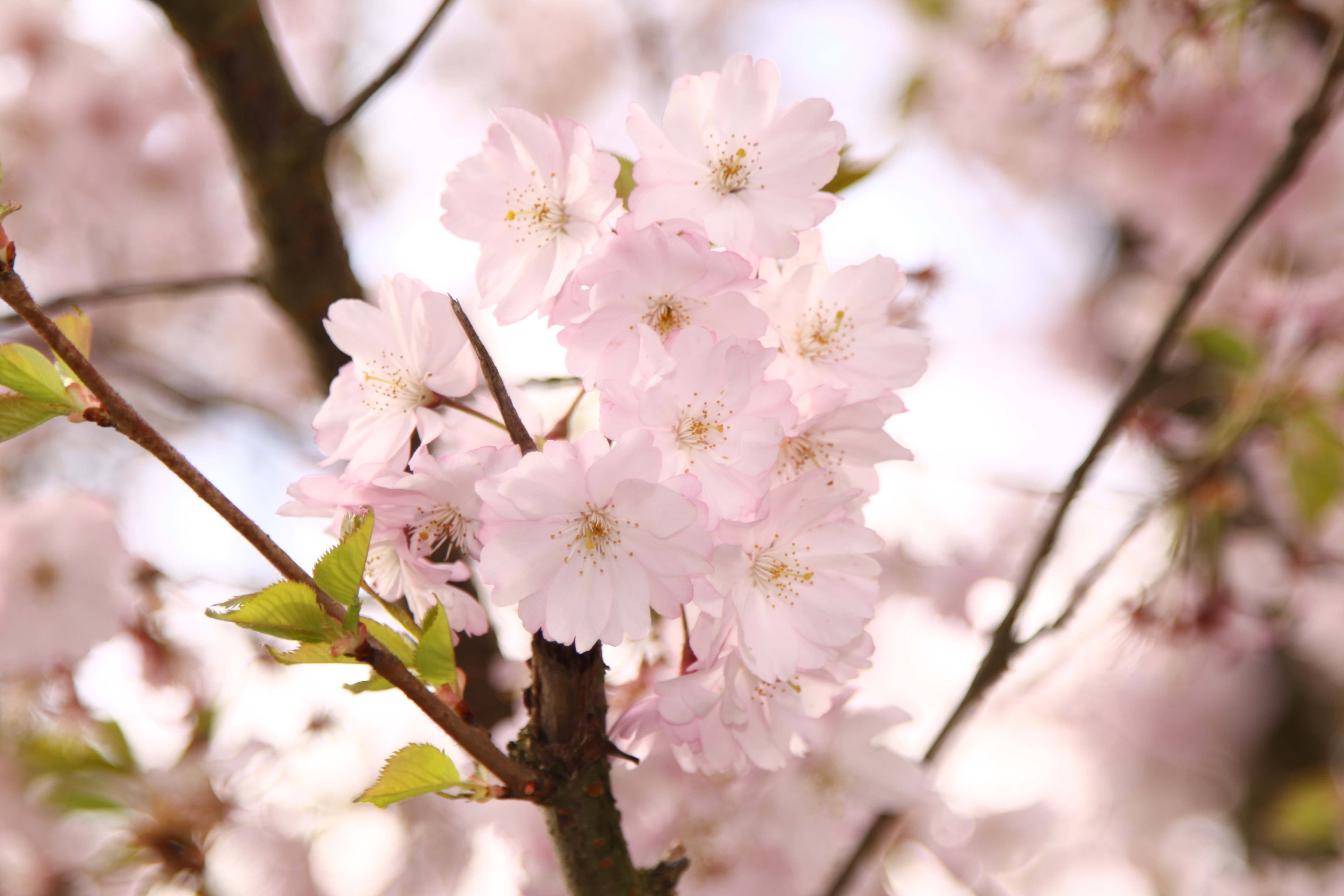 Best Iphone 4 Hd Wallpapers Cherry Blossom Tree 183 Free Stock Photo