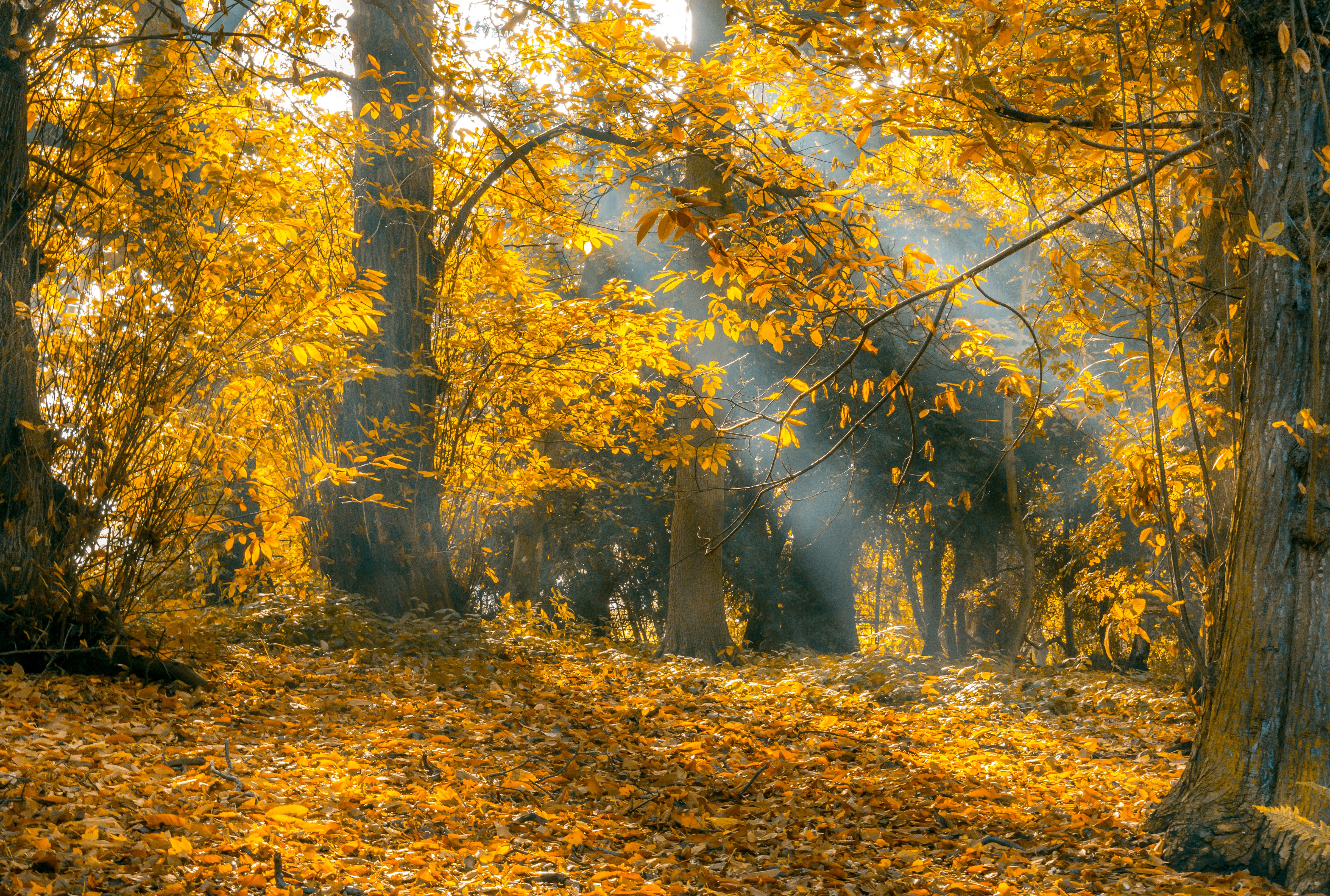 Fall Wallpaper With Deer Crepuscular Lights Passing Through Trees 183 Free Stock Photo
