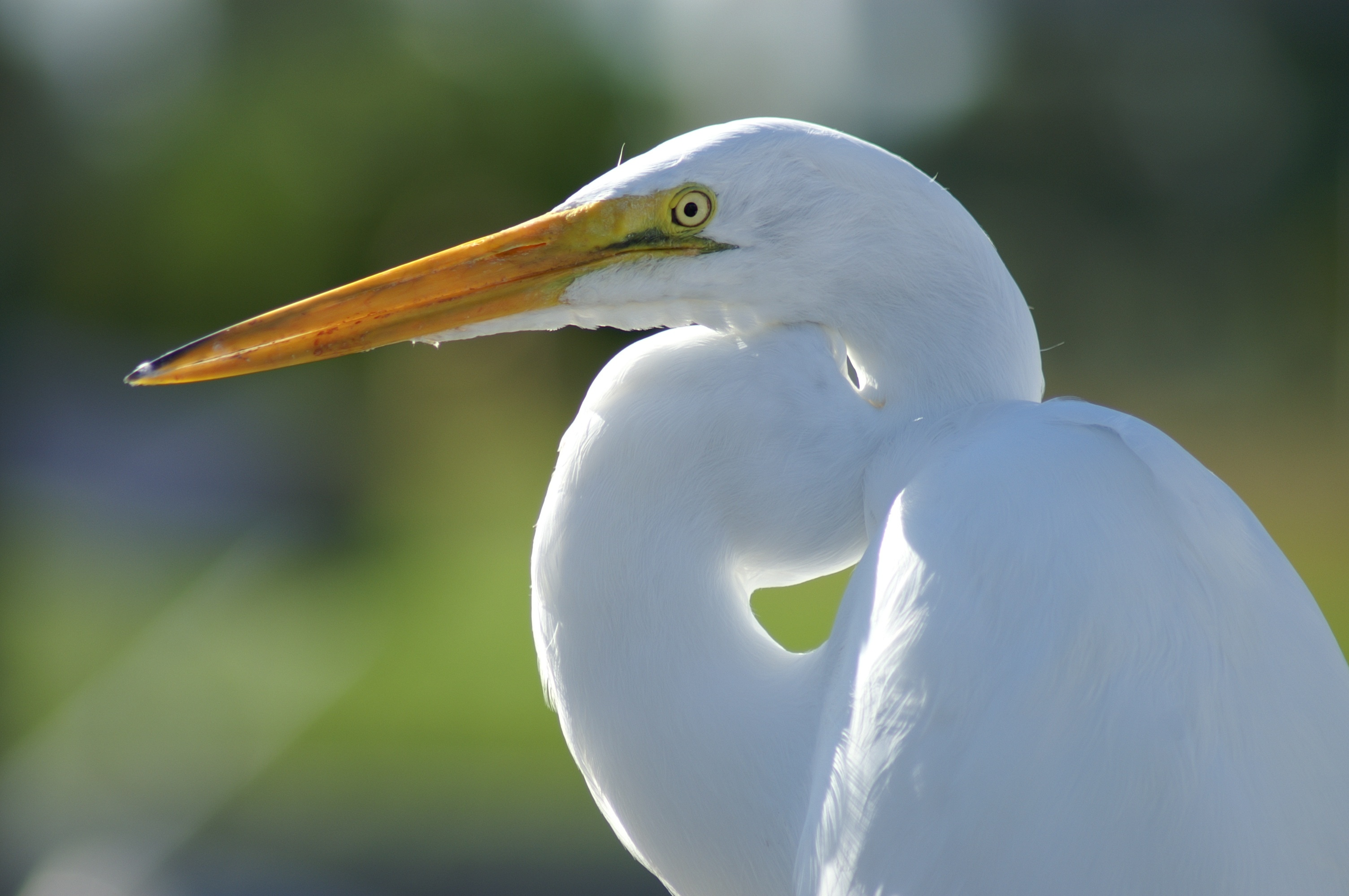 white crane bird free