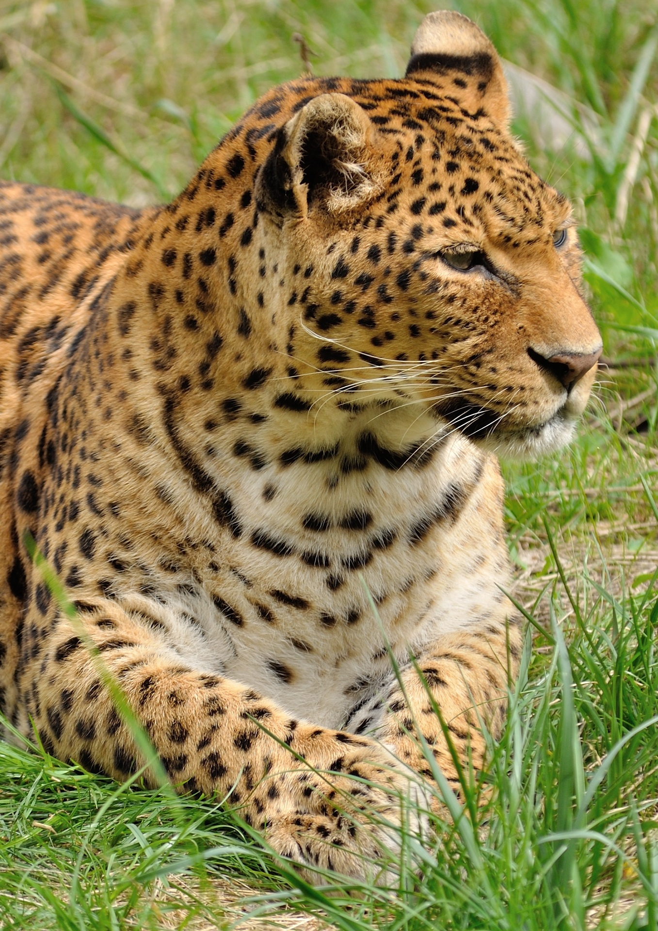Cool Hd Wallpapers For Mobile Leopard Lying In The Grass 183 Free Stock Photo