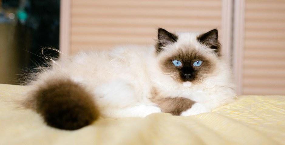Image result for birman cat