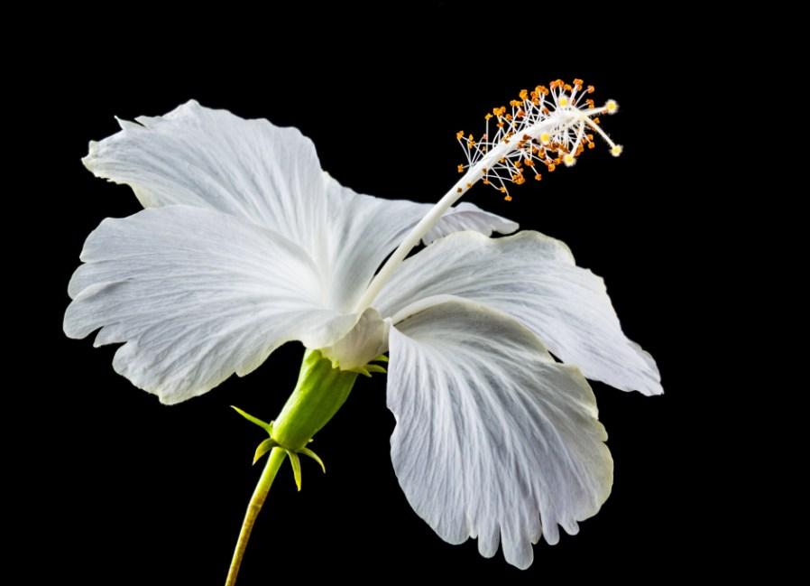 Free Animated Falling Leaves Wallpaper White Hibiscus Flower 183 Free Stock Photo