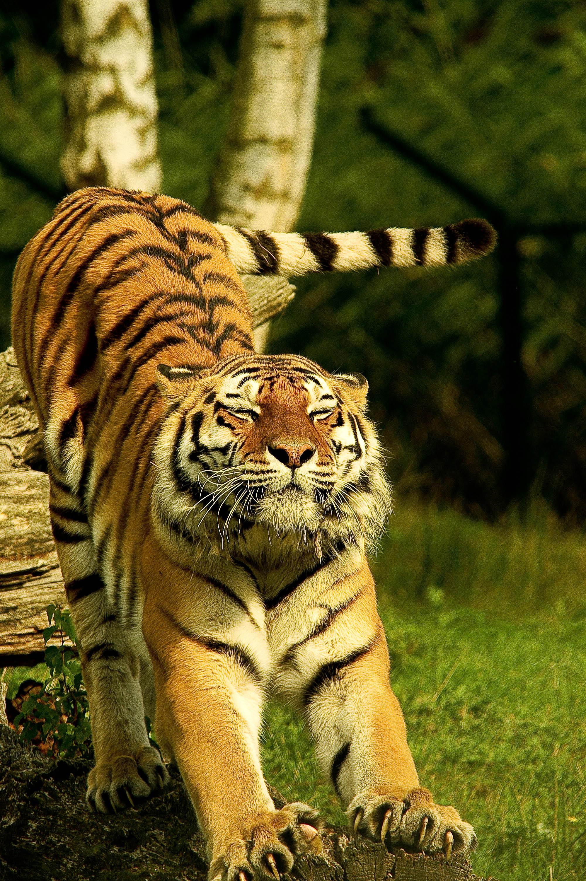 Black Dog Wallpaper Bengal Tiger On Green Grass 183 Free Stock Photo