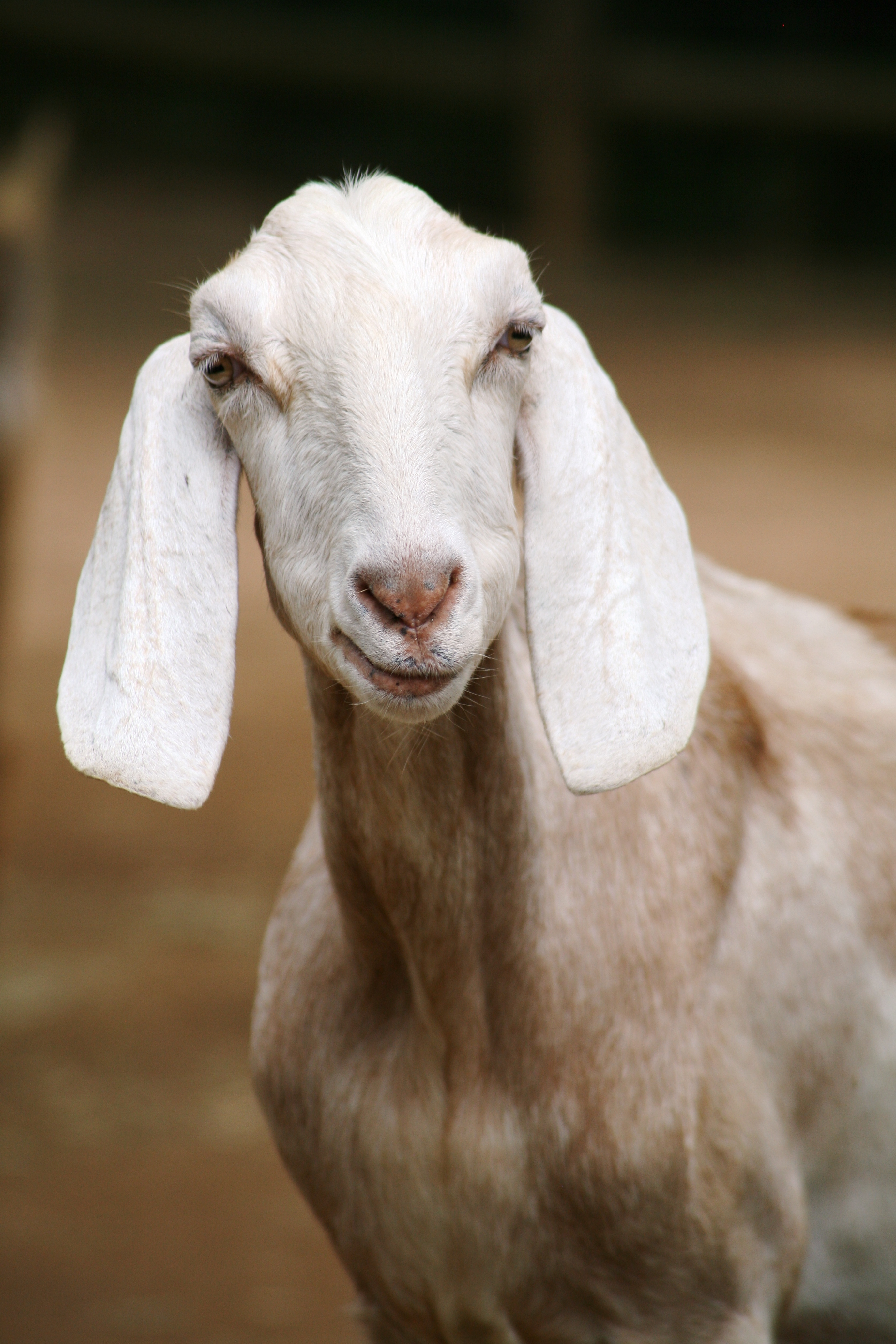 Custom Wallpapers For Iphone X White Goat Eating Grass During Daytime 183 Free Stock Photo