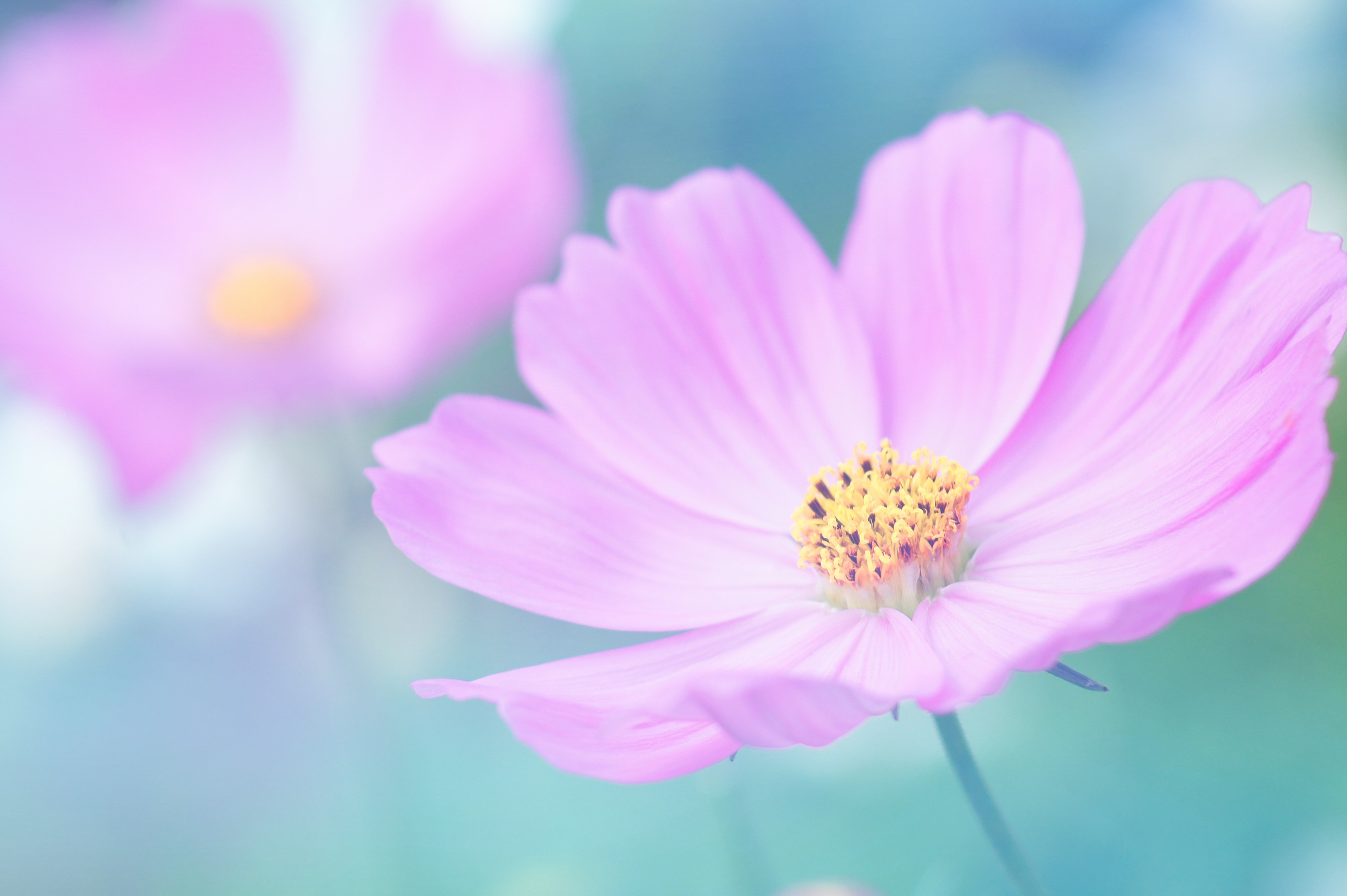 Blue Galaxy Hd Wallpaper Pink Petaled Flower During Daytime 183 Free Stock Photo
