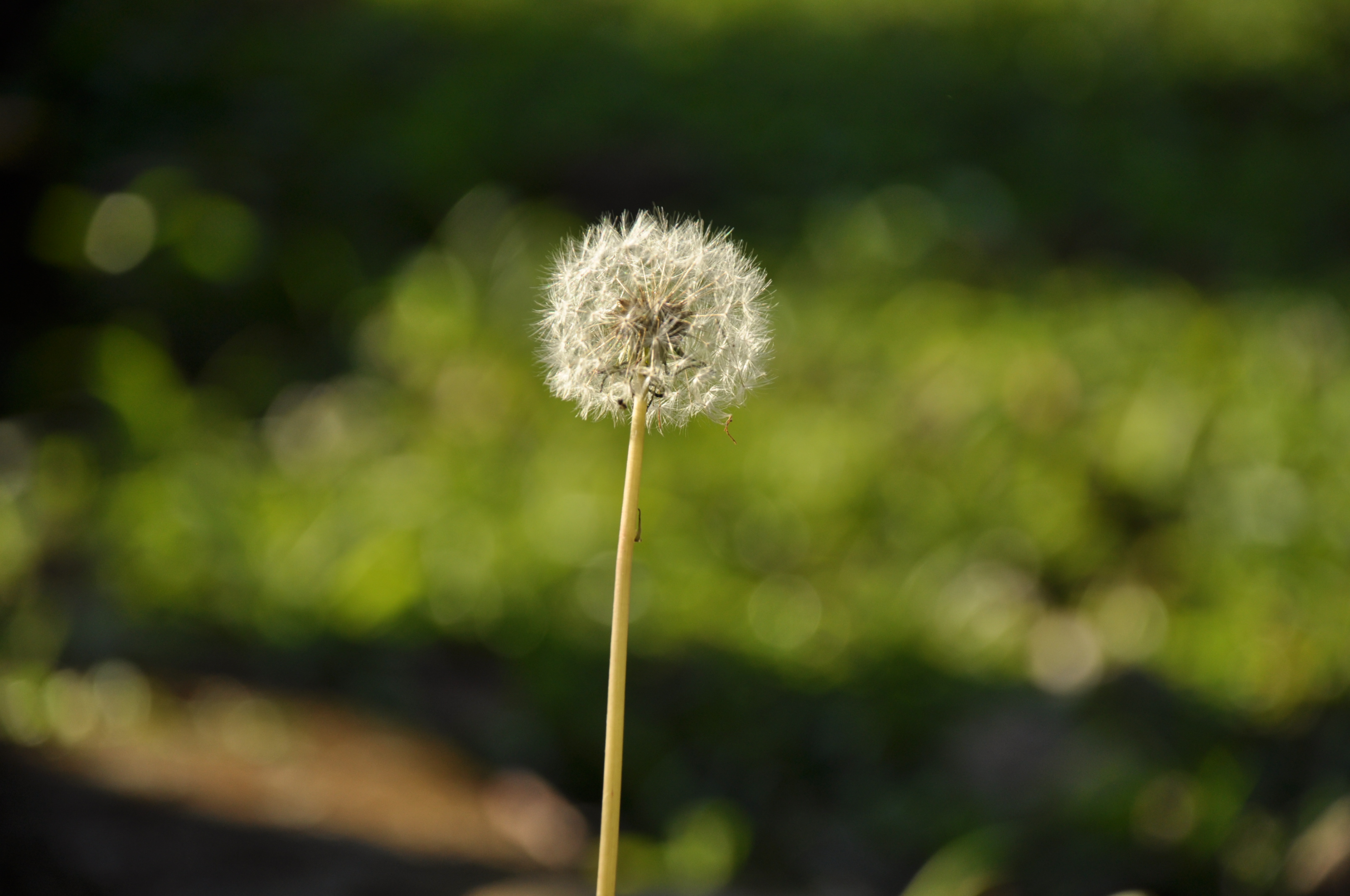 Apps For Iphone X Wallpaper White Dandelion Flower In Close Up Photograph 183 Free Stock