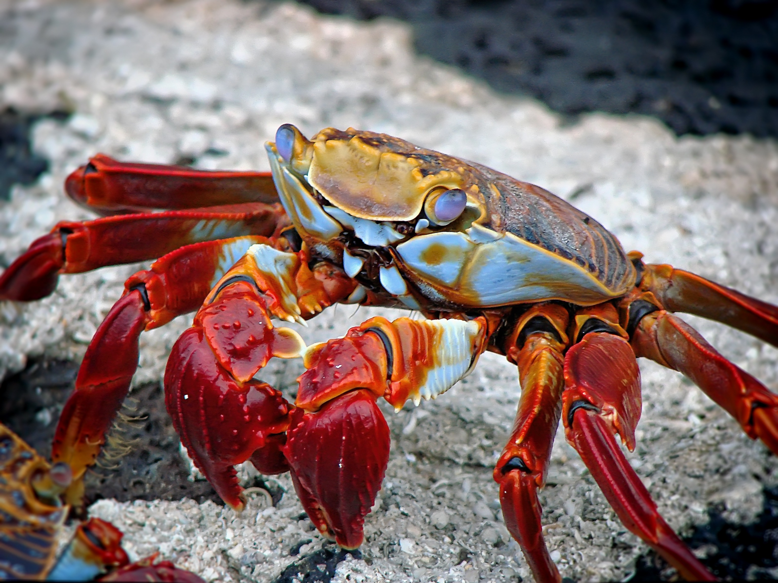 Iphone X Sand Wallpaper Free Stock Photo Of Beach Claw Crab