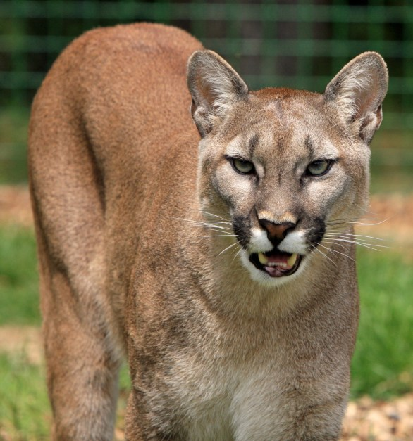 High Definition Animal Wallpapers Mountain Lion 183 Free Stock Photo