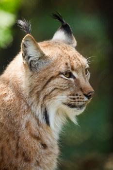 Cougar Animal Free Stock Photo