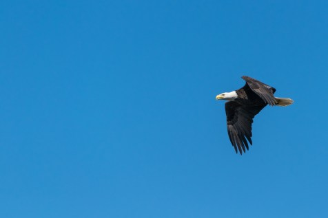 Bald Eagle Flying Under Blue Sky during Daytime