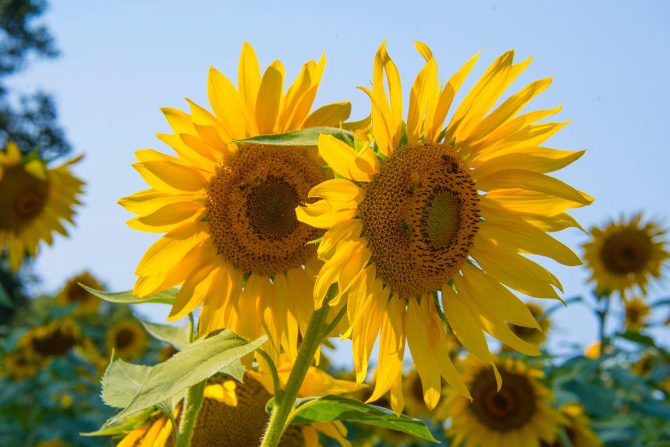 Sunflowers  Free Stock Photo