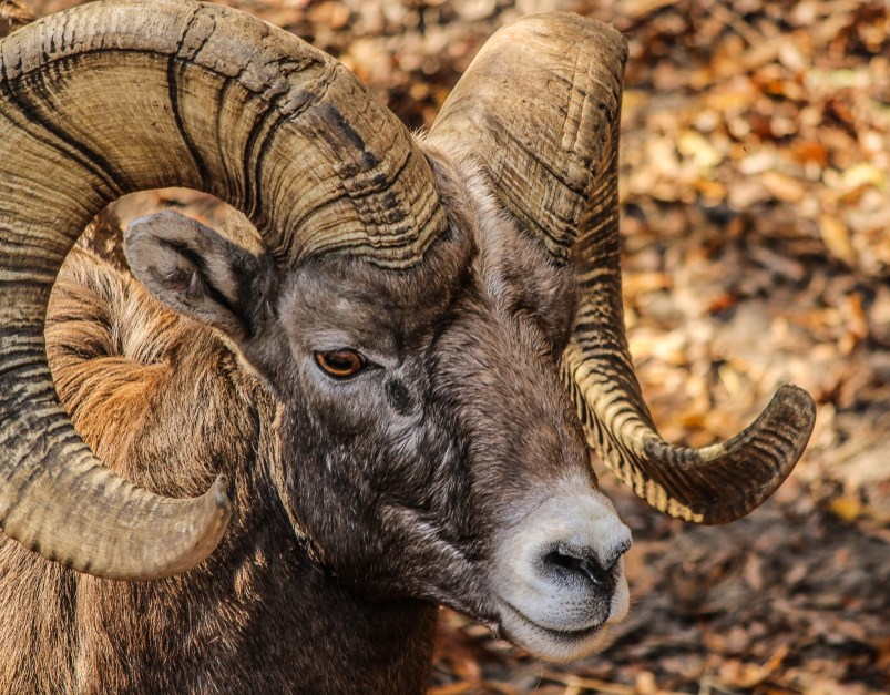 black and brown ram