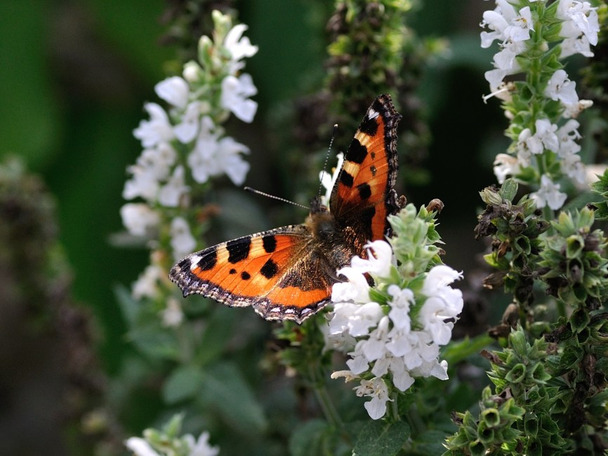 Beautiful Animal Wallpapers Orange Black And White Butterfly On White Petal Flower