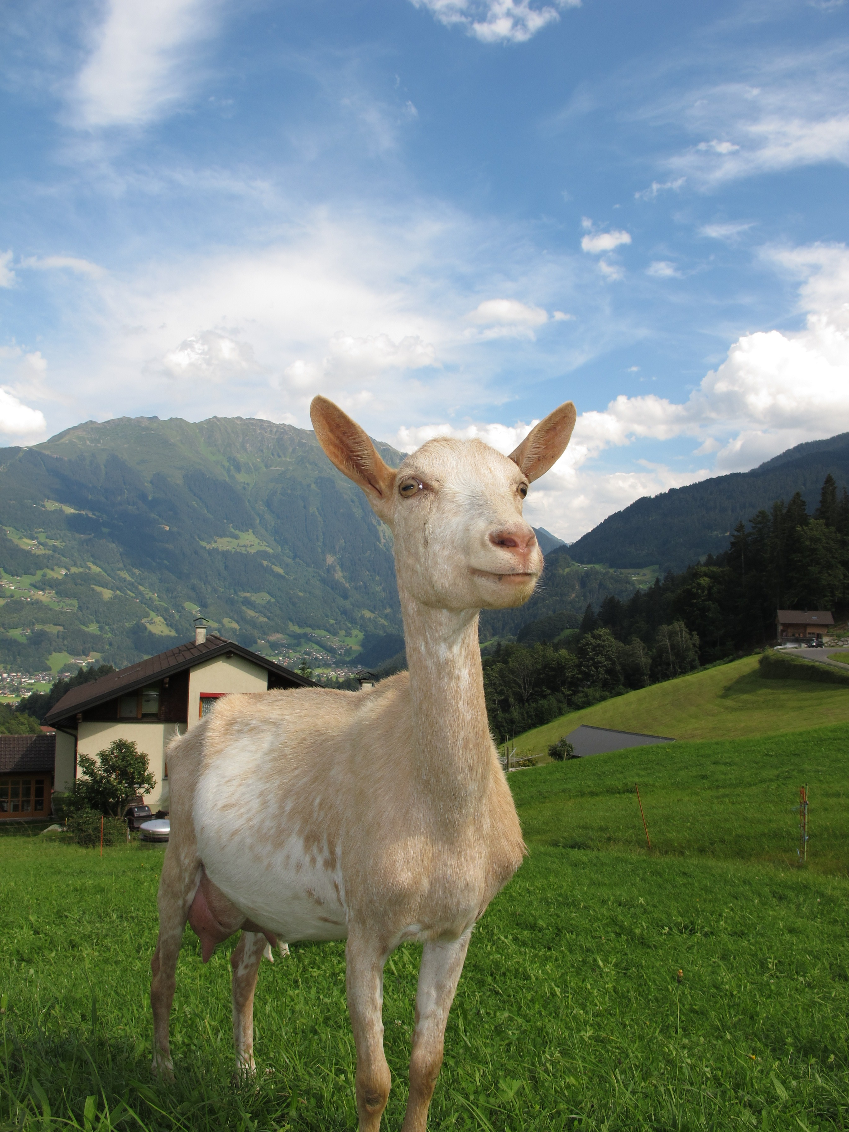 White Goat Eating Grass During Daytime 183 Free Stock Photo