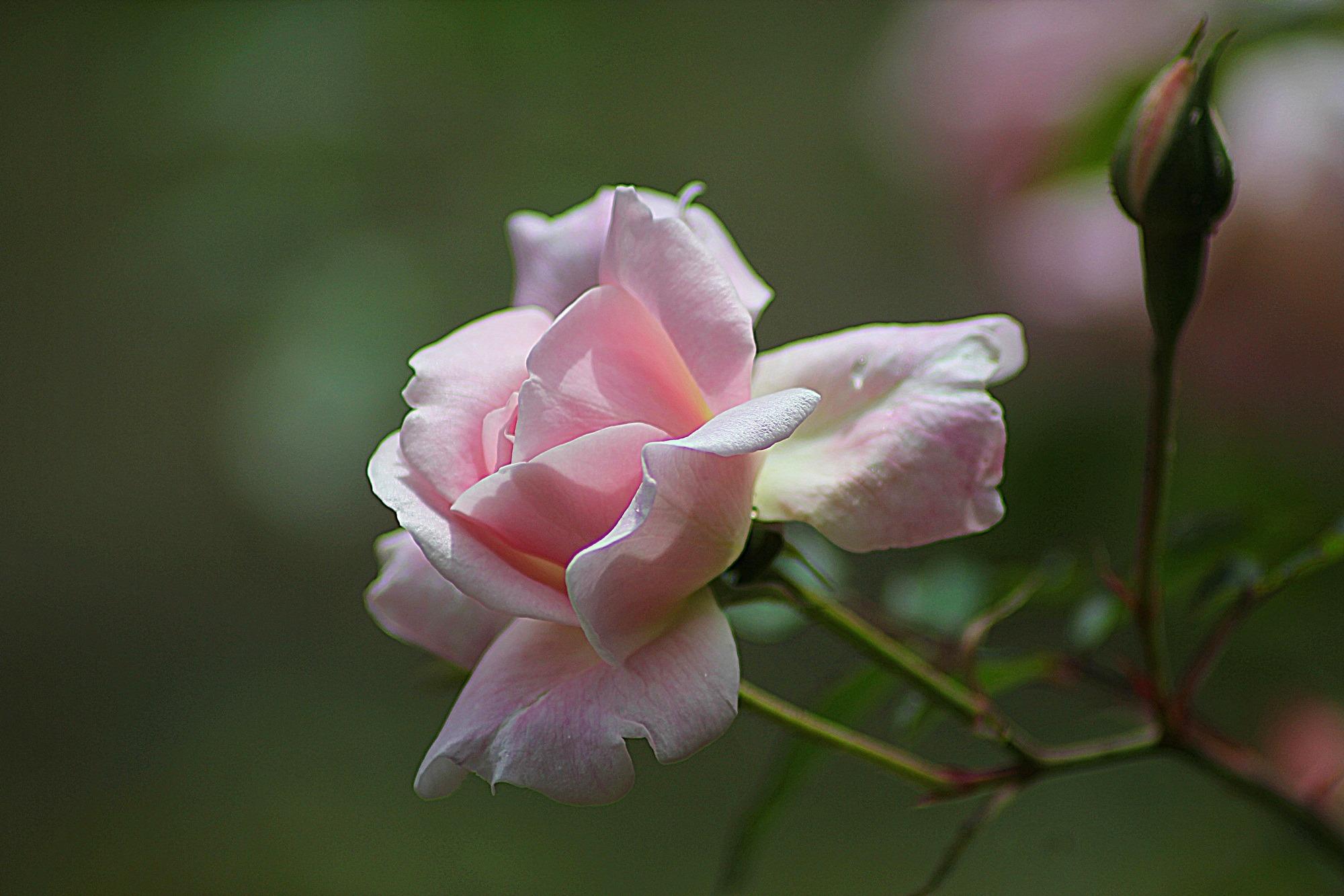 Pink Iphone X Wallpaper Orange Rose Flower In Bloom During Daytime 183 Free Stock Photo
