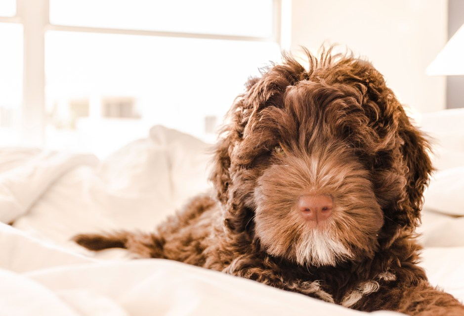 Cute Wallpapers Of The Beach Brown And White Portuguese Water Dog Puppy 183 Free Stock Photo